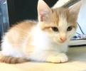 A picture of #ET03653: Canute a Domestic Short Hair orange/white