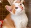 A picture of #ET03654: Vidar a Domestic Short Hair orange/white