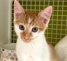 [another picture of Embla, a Domestic Short Hair orange/white\ cat]