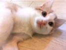 [picture of Embla, a Domestic Short Hair orange/white cat]