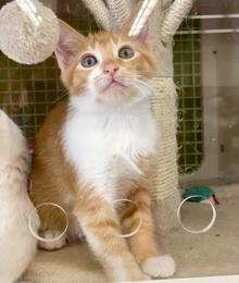 [picture of Asgard, a Domestic Short Hair orange\ cat]