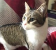 A picture of #ET03657: Coralie a Domestic Short Hair brown tabby/white