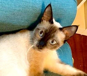 [picture of Lucy Lue, a Siamese seal point\ cat]