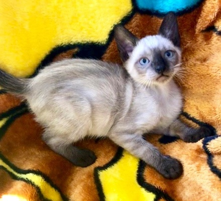[picture of Saphire, a Siamese Mix seal point\ cat]