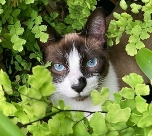 [another picture of Azure, a Siamese snowshoe\ cat]