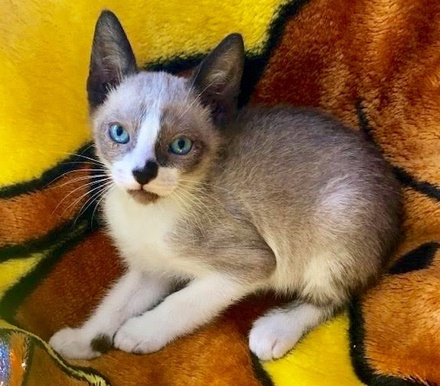 [picture of Azure, a Siamese snowshoe cat]