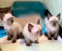 A picture of #ET03662: Cobalt a Siamese Mix seal point