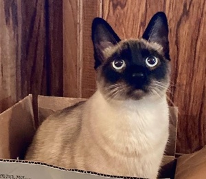 [another picture of Sky, a Siamese Mix seal point\ cat]