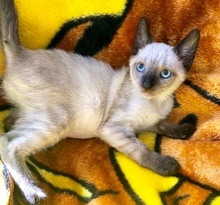 [picture of Cider AKA Sky, a Siamese seal point cat]