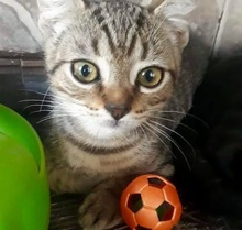 [picture of DiCaprio, a Singapura Mix brown\ cat]