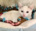 A picture of #ET03669: Osmond a Siamese snow shoe