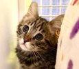 A picture of #ET03671: Dartanyon a Domestic Medium Hair brow  tabby
