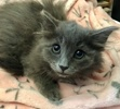 [picture of Haruka, a Domestic Long Hair blue cat]
