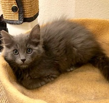 [picture of Haruka, a Domestic Long Hair blue\ cat]