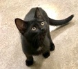 A picture of #ET03674: Bumba a Domestic Short Hair black