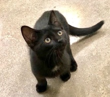 [another picture of Bumba, a Domestic Short Hair black\ cat]