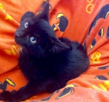 [picture of Bumba, a Domestic Short Hair black cat]
