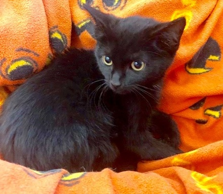 [picture of Rumba, a Domestic Short Hair black\ cat]