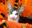 A picture of #ET03676: Ben a Domestic Short Hair brown tabby/white