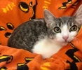 A picture of #ET03677: Jerry a Domestic Short Hair brown tabby/white