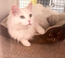 [another picture of Princess, a Maine Coon-x white\ cat]