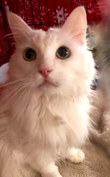[picture of Princess, a Maine Coon-x white cat]