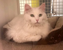 [picture of Princess, a Maine Coon-x white\ cat]