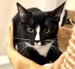 A picture of #ET03679: Hoki a Domestic Short Hair black/white