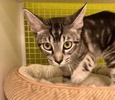 A picture of #ET03680: Toki a Domestic Short Hair Gray marble