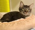 A picture of #ET03681: Domi a Domestic Medium Hair Gray