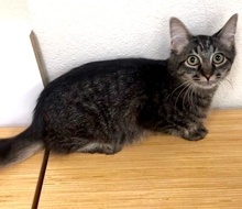 [picture of Domi, a Domestic Medium Hair Gray cat]