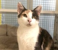 A picture of #ET03682: Misty a Domestic Short Hair dilute calico