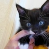 A picture of #ET03683: Mickey a Domestic Short Hair black/white