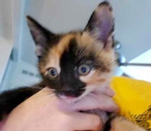[picture of Milie, a Domestic Short Hair calico cat]