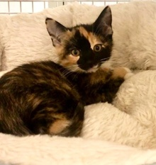 [picture of Milie, a Domestic Short Hair calico\ cat]