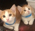 [picture of Grand, a Domestic Short Hair orange/white cat]