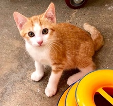 [picture of Grand, a Domestic Short Hair orange/white\ cat]