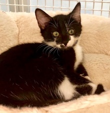 [picture of Smarty, a Domestic Short Hair black//white tuxedo cat]