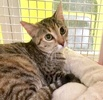 A picture of #ET03690: Burgandy Rose a Domestic Short Hair brown torbie