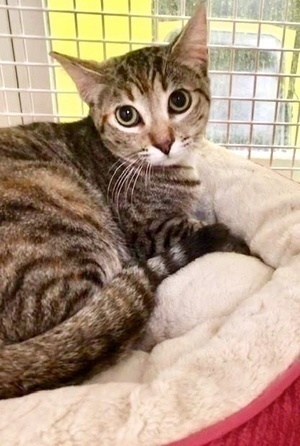 [another picture of Burgundy Rose, a Domestic Short Hair brown torbie\ cat]