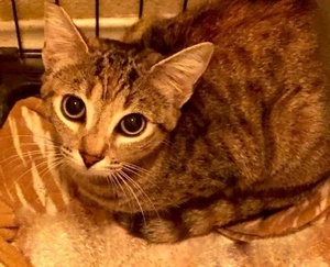 [picture of Burgundy Rose, a Domestic Short Hair brown torbie cat]