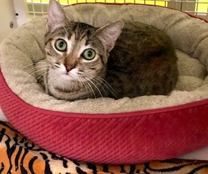 [picture of Burgandy Rose, a Domestic Short Hair brown torbie\ cat]