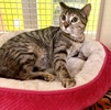 A picture of #ET03691: Silverbell a Domestic Short Hair brown tabby