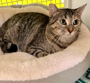 [another picture of Silverbell, a Domestic Short Hair brown tabby\ cat]