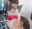 A picture of #ET03692: Isis a Domestic Short Hair dilute calico