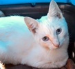 A picture of #ET03693: Luyo a Siamese Mix flame point