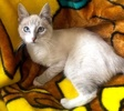 A picture of #ET03694: Danyo a Siamese Mix lynx point