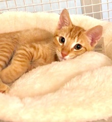 [another picture of Tony The Tiger, a Domestic Short Hair orange tabby\ cat]