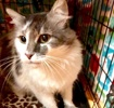 A picture of #ET03698: Brisby a Maine Coon-x gray/white