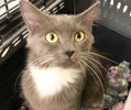 A picture of #ET03699: Hedy a Domestic Long Hair blue/white